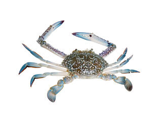 Whole Round Crab-packing