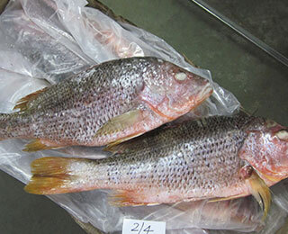 Red Snapper-packing