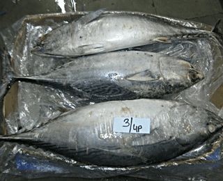 Bonito / Little Tunny Whole Round -packing